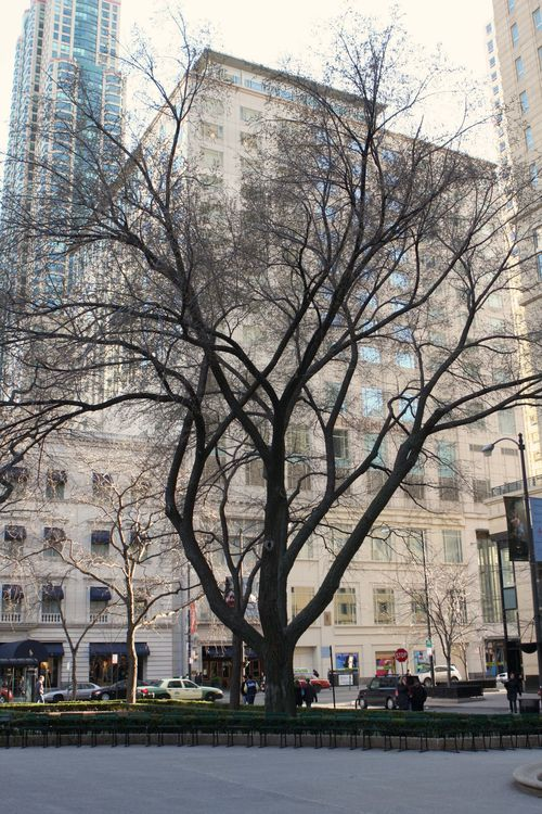 Chicago tree